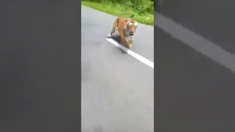 Tiger chases bike riders in Kerala's wildlife sanctuary