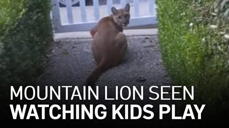Mountain Lion Watches Kids Ride Bikes in Bay Area
