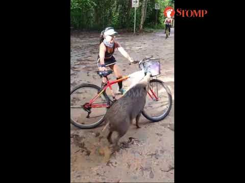 Woman recounts amusing incident of boar pouncing on her bike at Pulau Ubin: 'I'll never forget it'