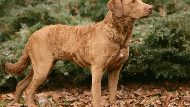 Hunting Dog Profile: The Chesapeake Bay Retriever