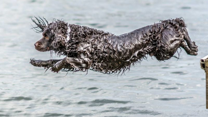 Hunting Dog Profile: The Exuberant Boykin Spaniel
