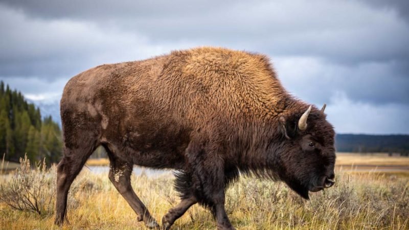 Bison Removal: Grand Canyon Officials Seek 'Skilled Volunteers' to Protect Parklands