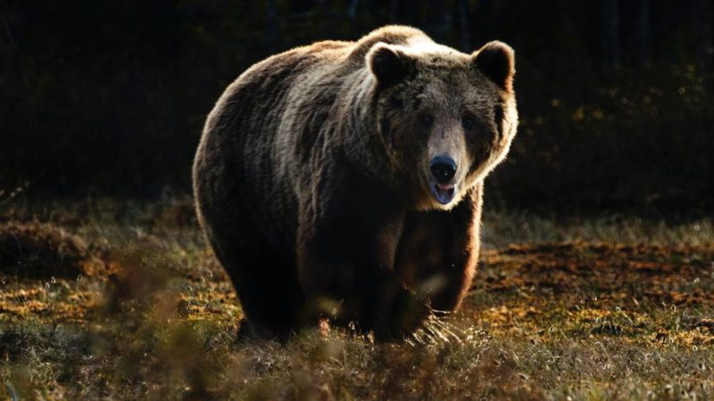 Armed Cyclist Fends Off Bear With Kicks, Keeps Gun Holstered